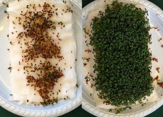 À gauche : les graines exposées aux ondes. À droite : les graines non exposées.